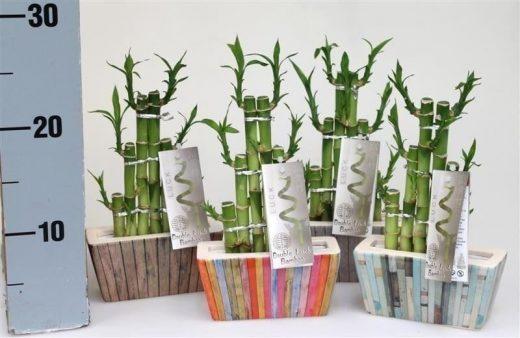 laki-bamboo-520x338