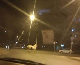 """МУ СЕ ИЗНАСМЕАЛЕ ВО ПОЛИЦИЈА: Коњ трча по """"Партизанска"""", пријавил во полиција – му се смееле!"""