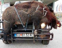 КАПИТАЛЕН УЛОВ НА КРАТОВСКИТЕ ЛОВЏИИ: Дива свиња тешка 250 килограми уловена од кратовските ловџии!
